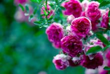 Macro Of Rose Flower Bush