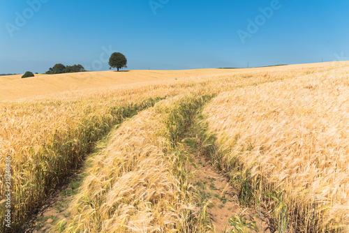 Foto op Aluminium Blauw Field of Golden wheat under the clear blue sky in the Welsh Countryside, Tree in background, focus on Wheat