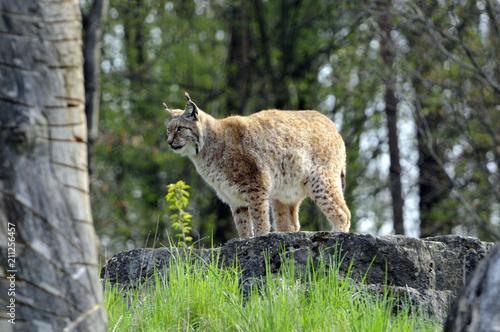 Poster Lynx Luchs (Lynx lynx), Captive, Deutschland, Europa