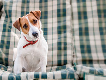 Close-up Portrait Of Cute Dog Jack Russell Sitting On Green Checkered Pads Or Cushion On Garden Bench Or Sofa Outside At Sunny Day. The Curious Pet Looking At The Camera