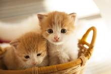 Two Small Ginger Kitten In The...