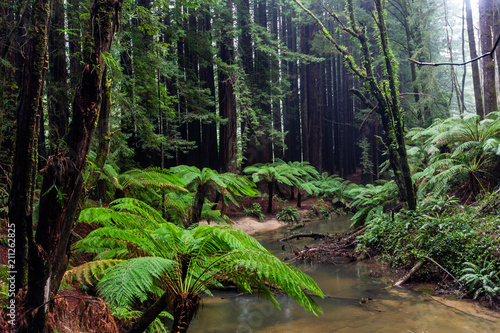 Fototapeta The iconic ferns and tall californian redwood trees in Beechforest Victoria Aust