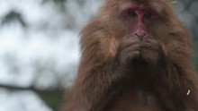 Wild Rhesus Monkey In Emei Mountain At Daytime