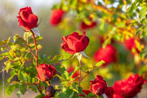 Aluminium Prints Don Juan climbing roses