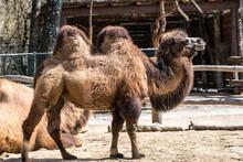 Kamel - Camelus Ferus