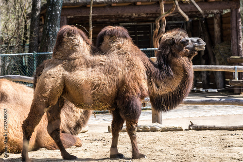 Foto op Canvas Kameel Kamel - Camelus ferus