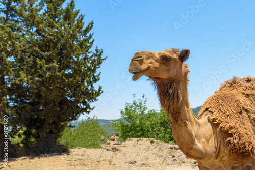 Deurstickers Kameel Cute Camel's Muzzle. A camel standing over blue sky nature background.