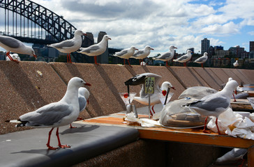 A hungry flock of seagulls moves in for food leftovers at a casual dining area along Sydney Harbor