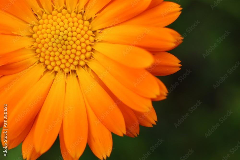Fototapety, obrazy: Calendula officinalis or pot marigold close-up