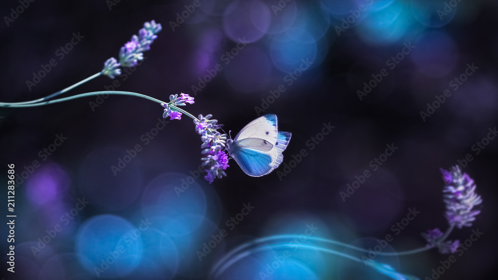 Beautiful white butterfly on the flowers of lavender. Summer spring natural image in blue and purple tones. Free space for text.