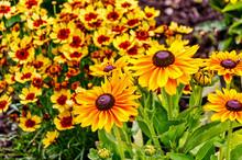 Sonnenhut (Rudbeckia) Und Mädchenaugen (Coreopsis) In Einem Sommergarten