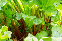 Close Up Image Of Rhubarb Stems