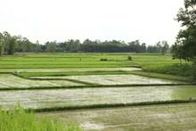 Culture De Riz En Asie