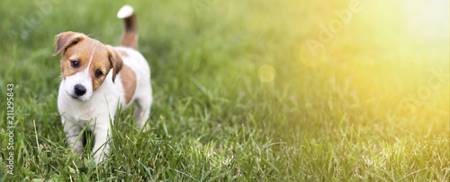 Pet training concept - cute happy Jack Russell Terrier puppy dog smiling to the camera