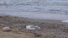 Seagull Sitting On Sand Hill ,...