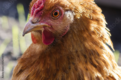 Foto op Canvas Kip The head of a brown chicken, close-up
