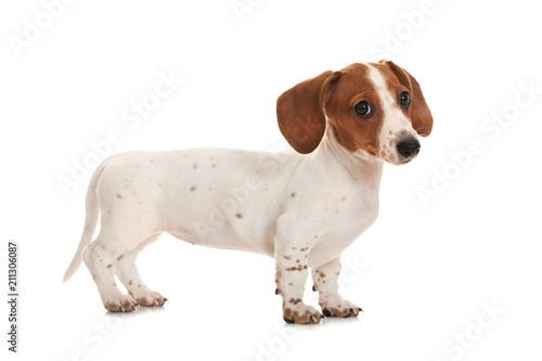 Fotografie, Obraz  Mini Piebald Dachshund isoliert auf weißem Hintergrund