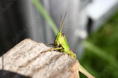 Tuinposter Macrofotografie Grasshopper posing for the camera. Close up