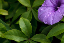 Water Droplets On A Purple Flower - Green Foliage Background