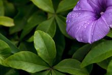 Water Droplets On A Purple Flo...