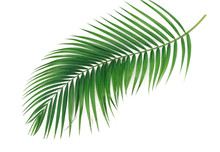 Palm Green Leaves Isolated On White Background.