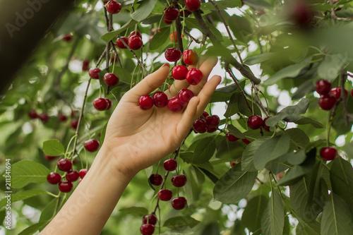 Fotografía Picking cherries in the garden
