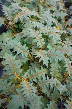 Porcupine Tomato, Solanum Or Solanum Pyracanthos