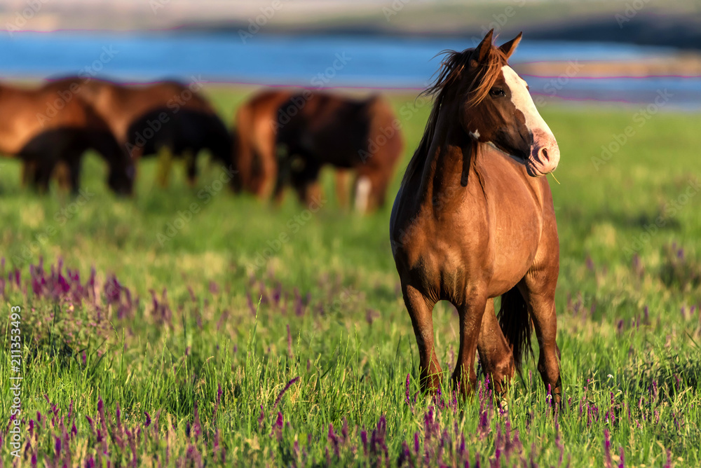 Fototapeta Wild horses graze in the sunlit meadow