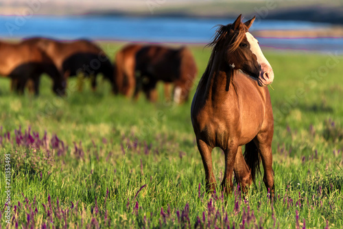 Wild horses graze in the sunlit meadow