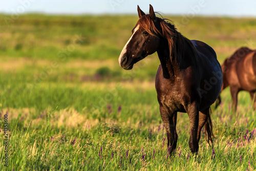 Foto op Canvas Paarden Wild horses graze in the sunlit meadow