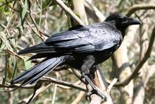 Australian Black Raven