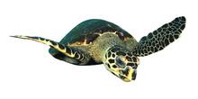 Hawksbill Sea Turtle Isolated ...