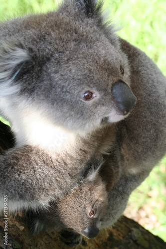 Keuken foto achterwand Koala koala is climbing on a tree branch, australia