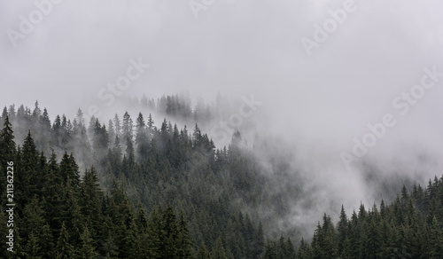 Cadres-photo bureau Matin avec brouillard Foggy Pine Forest. Dense pine forest in morning mist.