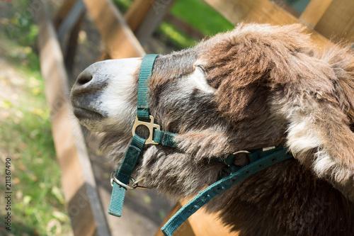 Poster Ezel Closeup of a face of a furry donkey on a farm