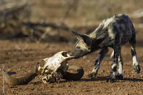 Poster Hyène Playfull Wild Dog