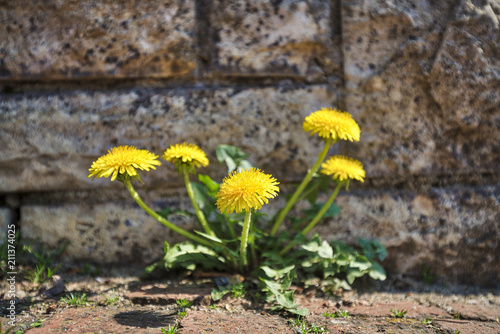 Photo  dandelion growing out of a wall
