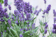 lavender flower bush in garden