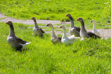 Guinea Gooses Outdoors.