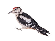 Young Great Spotted Woodpecker...