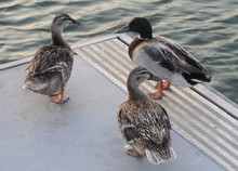 Three Ducks Stand On The Edge Of The Pier, Near The Water.