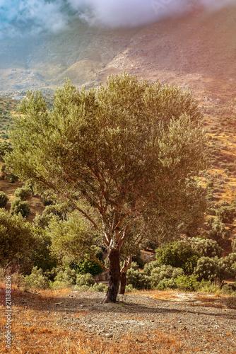 Deurstickers Olijfboom olive tree