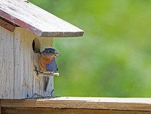 Male Bluebird With A Bug In His Mouth Sits On A Perch.