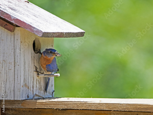 Male Bluebird with a bug in his mouth sits on a perch. Poster Mural XXL