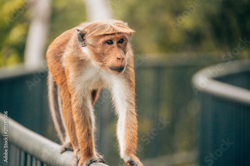 Foto op Plexiglas Aap A monkey is running on a railing