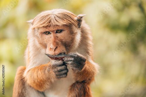 Foto op Aluminium Aap Monkey eats a date
