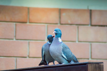 Couple Of Pigeons Cooing On A Wooden Wall