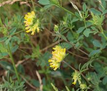 Anthyllis Vulneraria (common Kidneyvetch, Kidney Vetch Or Woundwort) Blooming In Spring