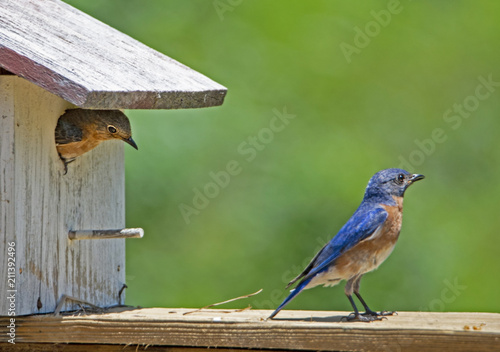 Vászonkép Male and female Bluebirds perch near a birdhouse.
