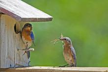 Male And Female Bluebirds Chec...
